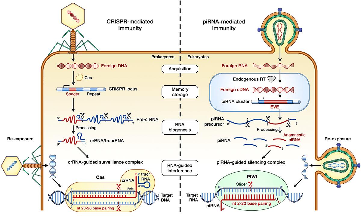 CRISPR/Cas и piРНК