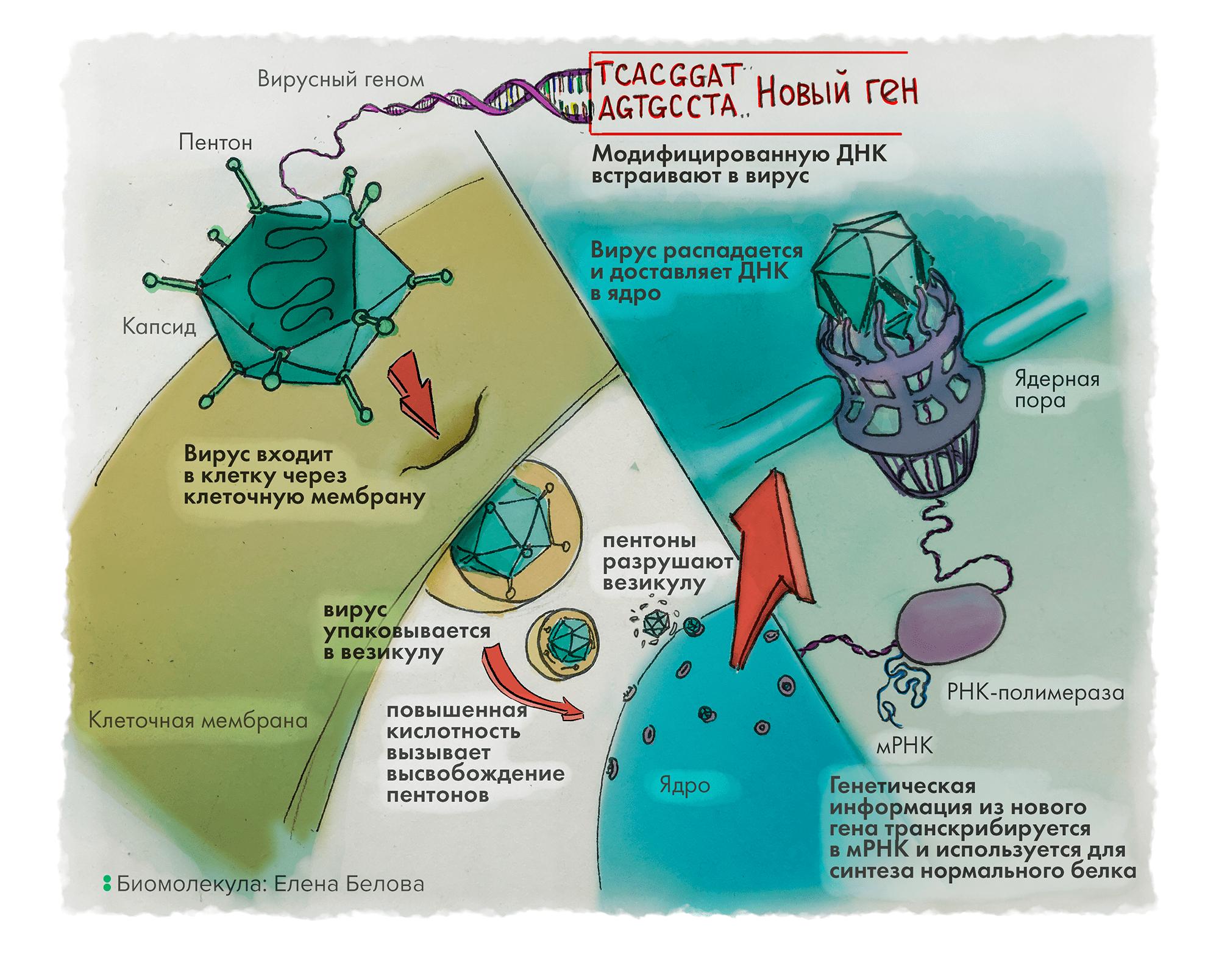 Генная терапия с использованием аденовирусного вектора