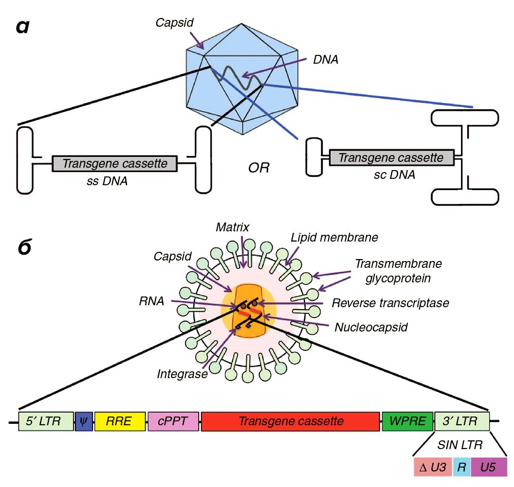 Два самых популярных в генной терапии вирусных вектора