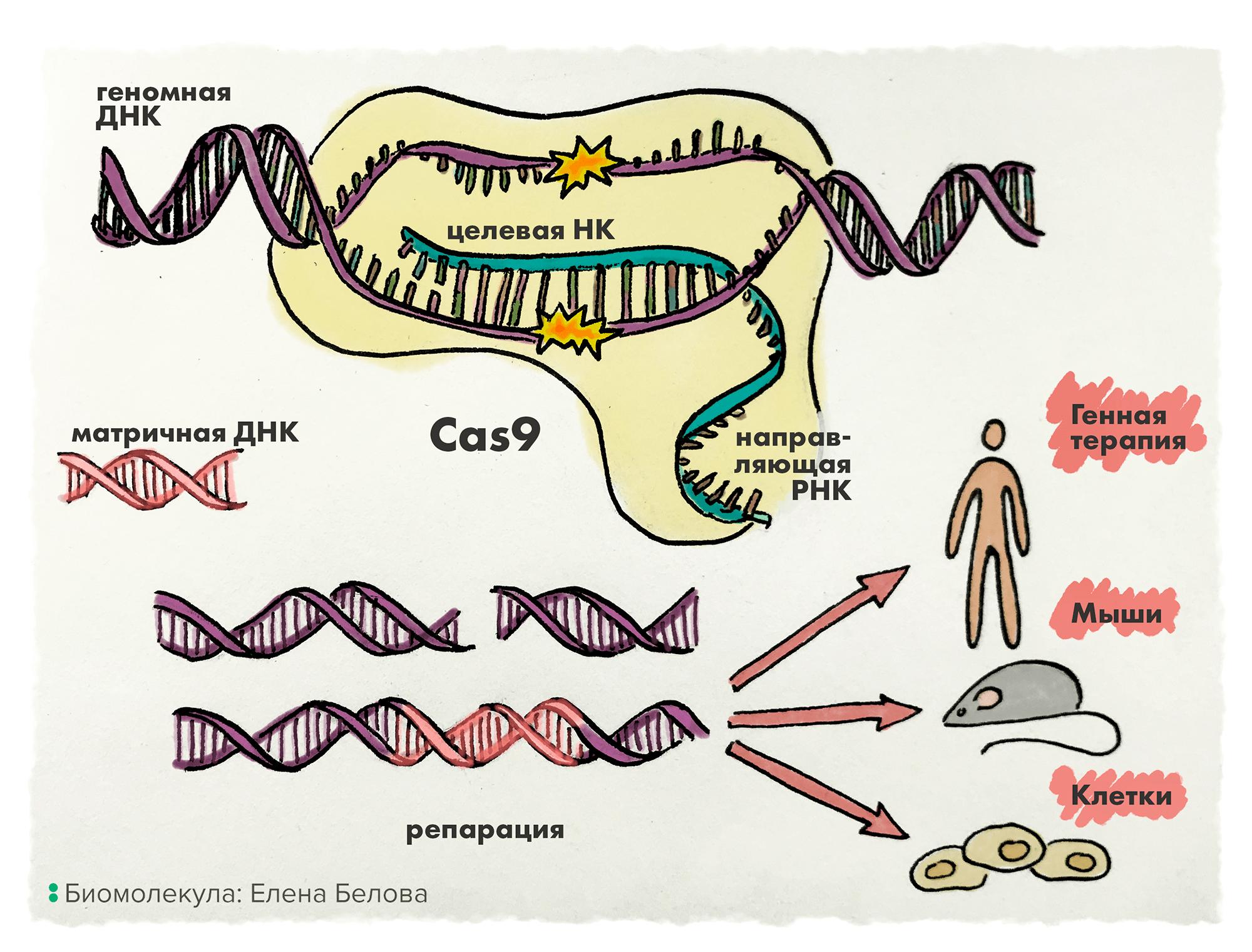 Система CRISPR/Cas-9