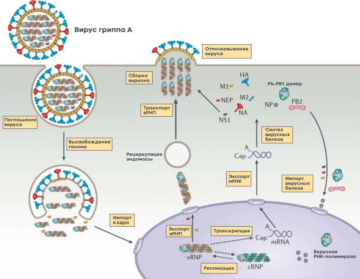 Жизненный цикл вируса гриппа А