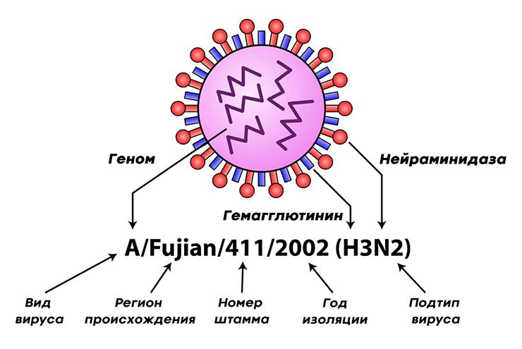 Классификация вируса гриппа на примере вируса гриппа А