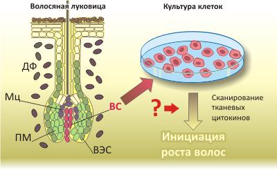 Клетки волосяного сосочка теряют уникальные свойства
