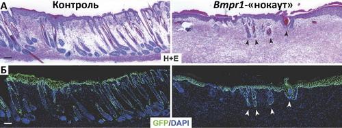 Направленная дезактивация рецепторов костного морфогенетического белка