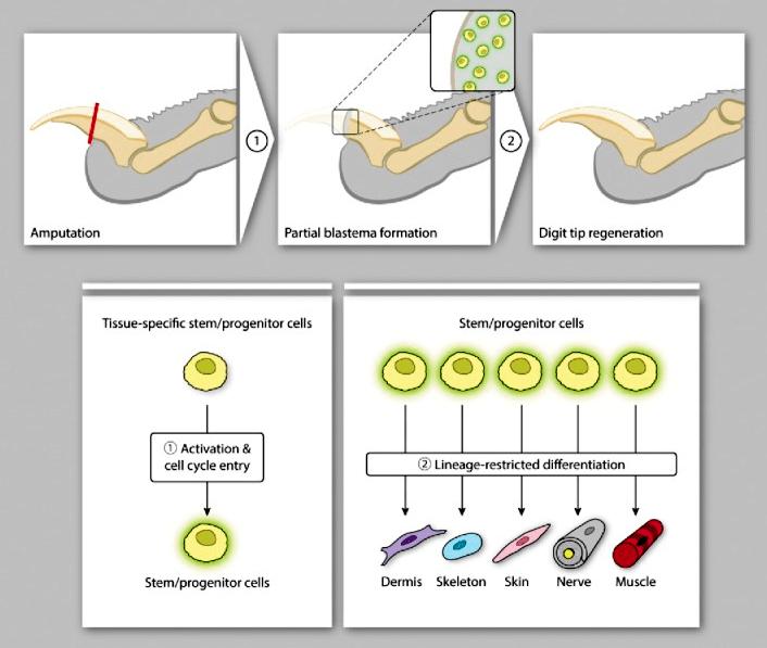 Регенерация пальца у мышей
