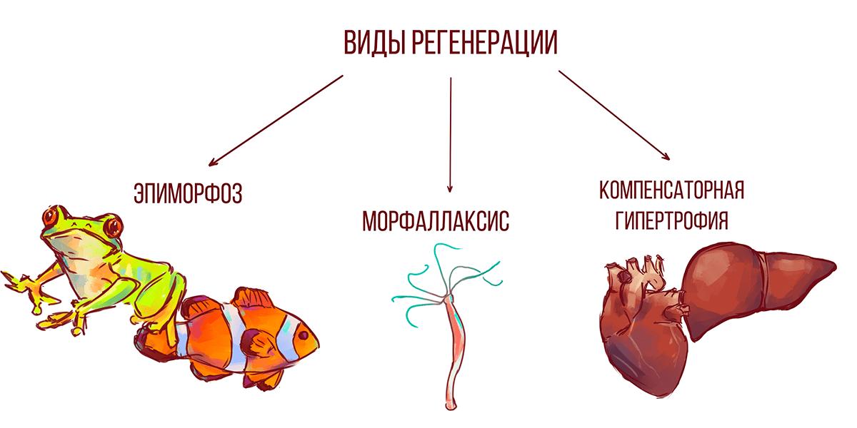 Виды регенерации