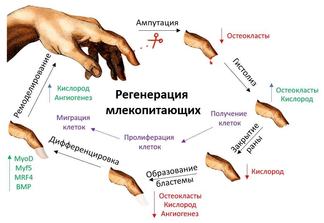 Цикл регенерации кончика пальца у млекопитающих