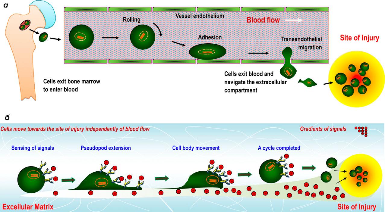 Миграция стволовых клеток по градиенту сигнальных молекул