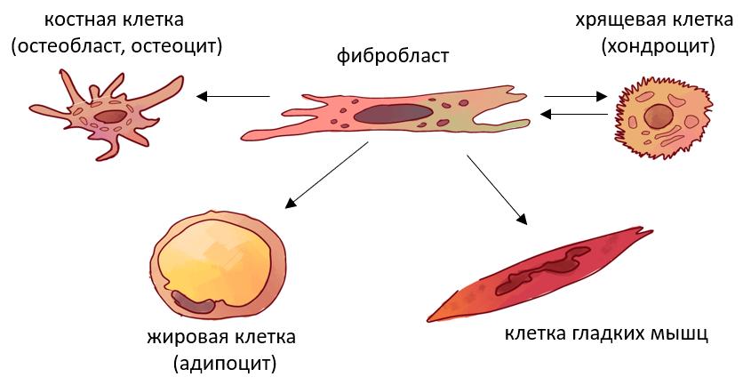 Универсальные фибробласты