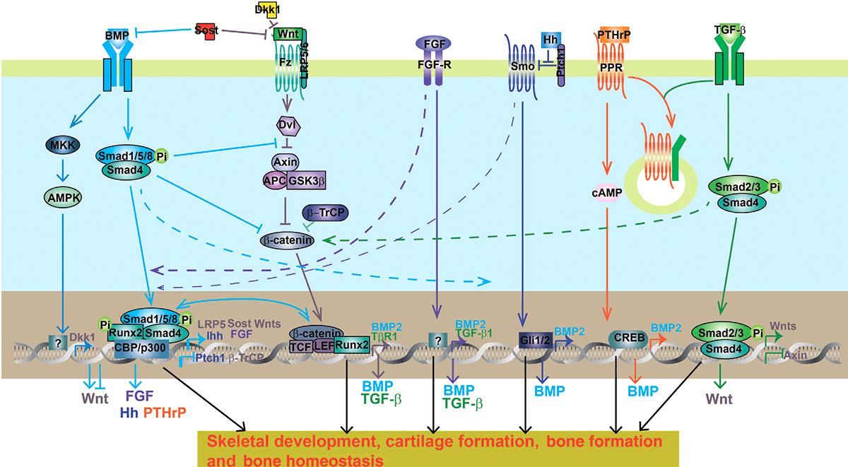 Общая схема и перекрестное взаимодействие некоторых сигнальных путей