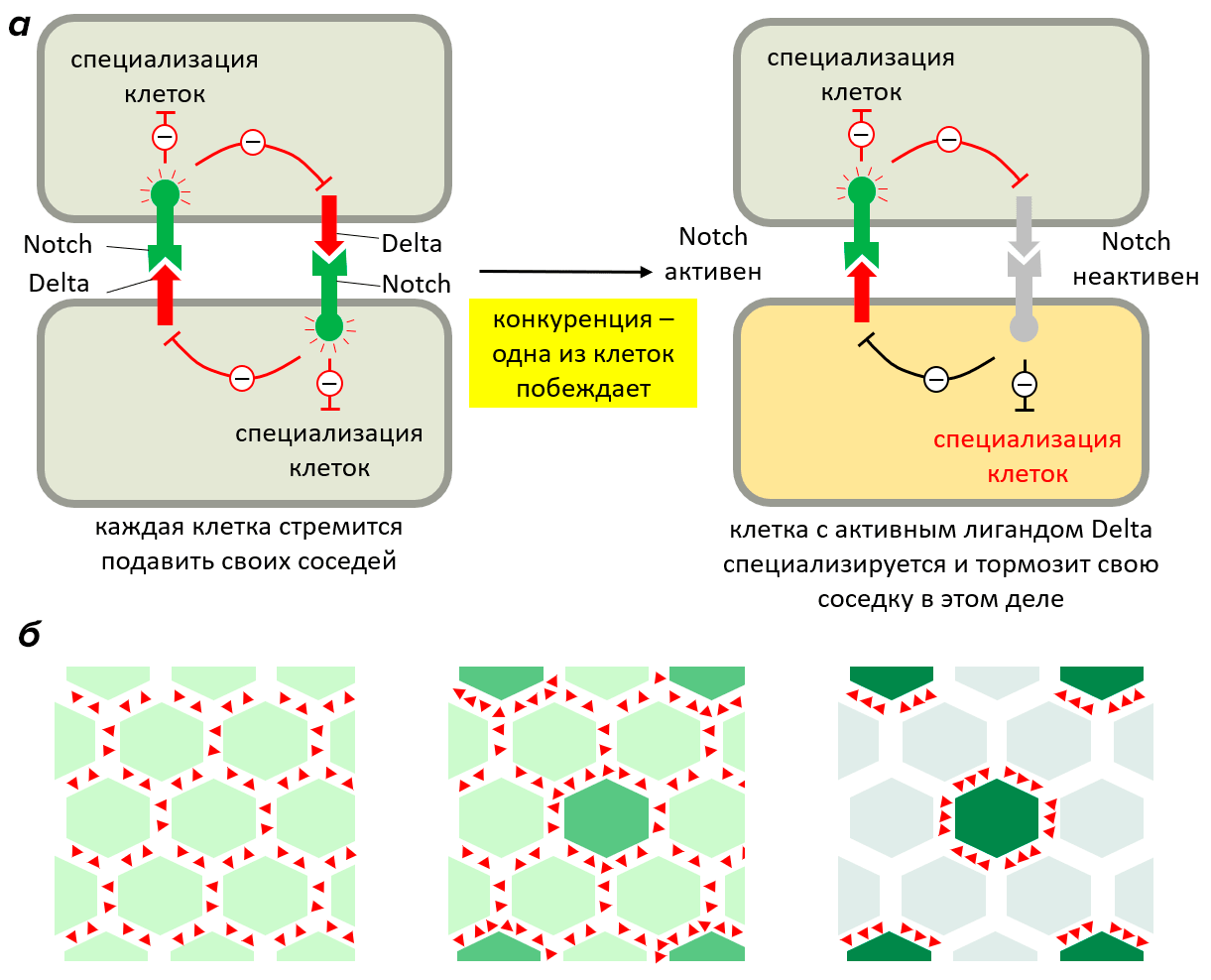 Механизм конкурентного ингибирования соседствующих клеток