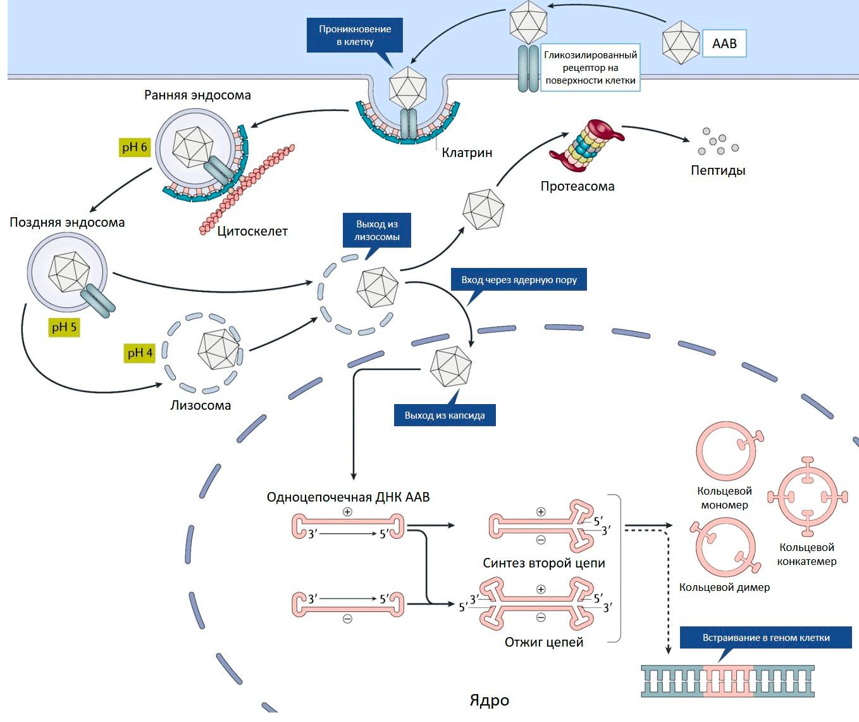 Проникновение ААВ внутрь клетки