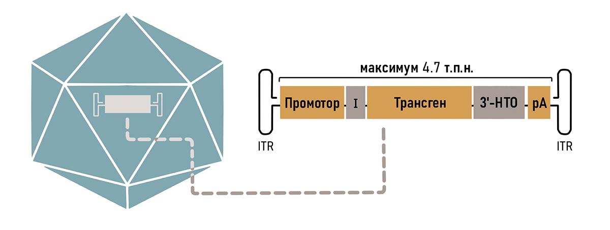 Компоненты типичной кассеты ААВ вектора