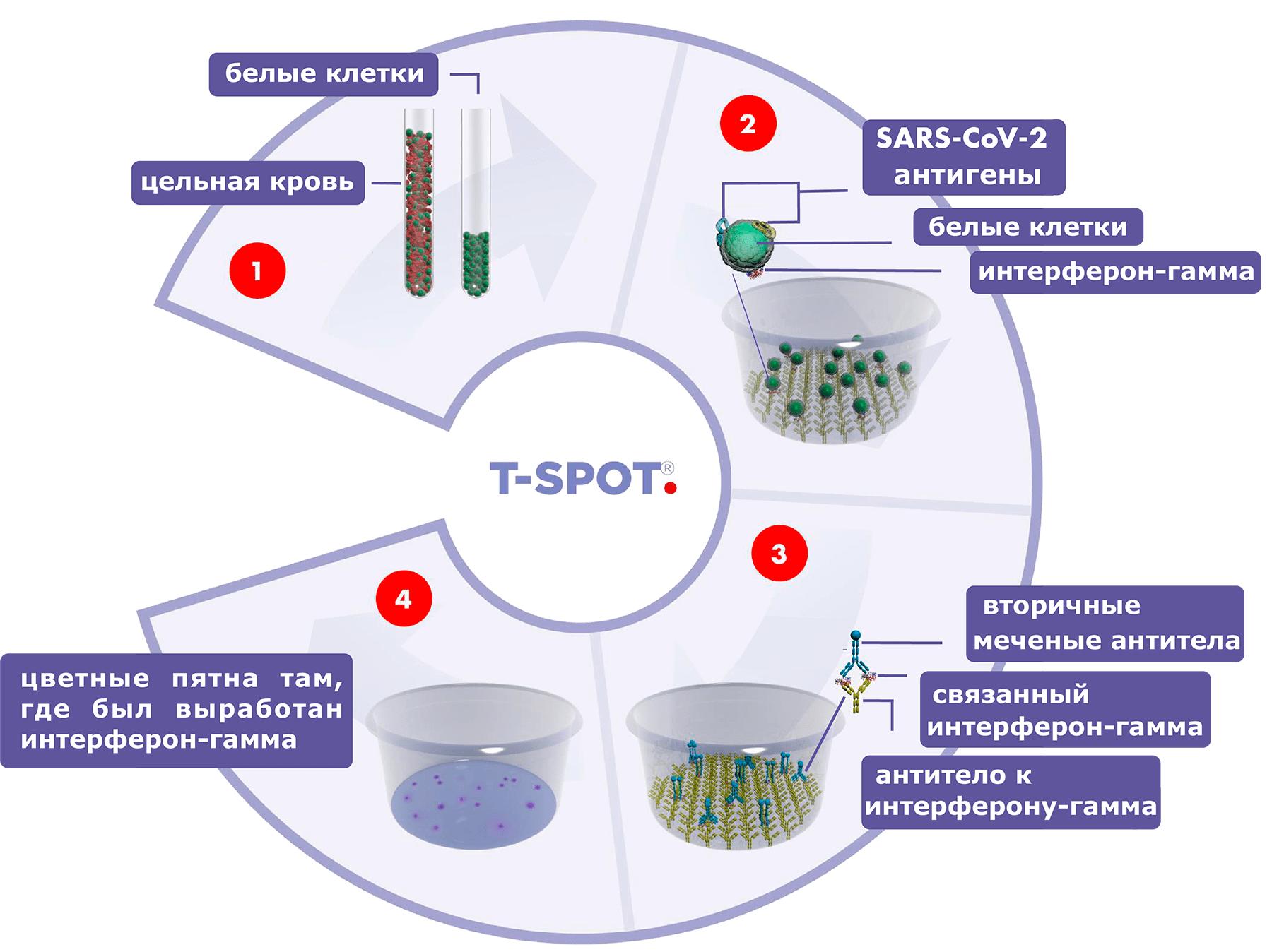 Схема работы теста ELISPOT