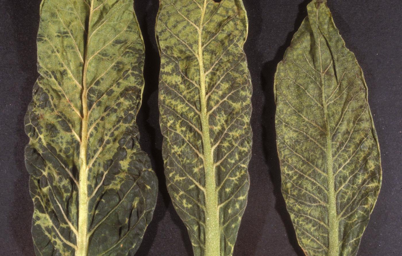 Листья табака, пораженного вирусом табачной мозаики