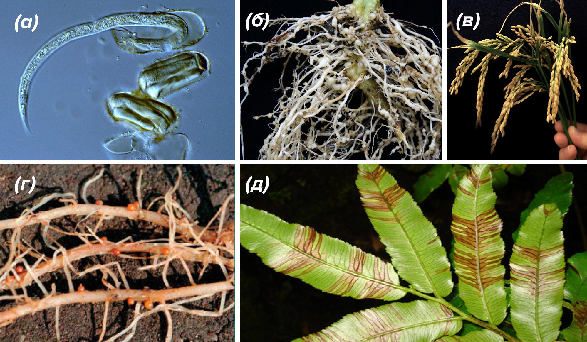 Внешние проявления поражения растений нематодами