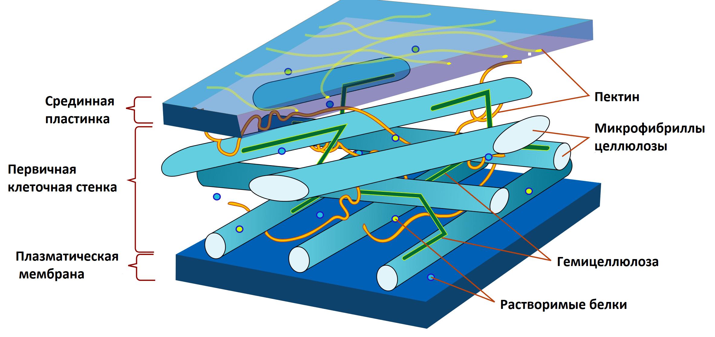 Строение растительной клеточной стенки