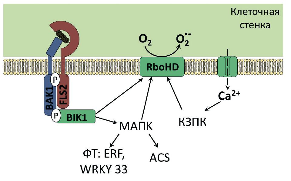 Схема развития иммунной реакции растения