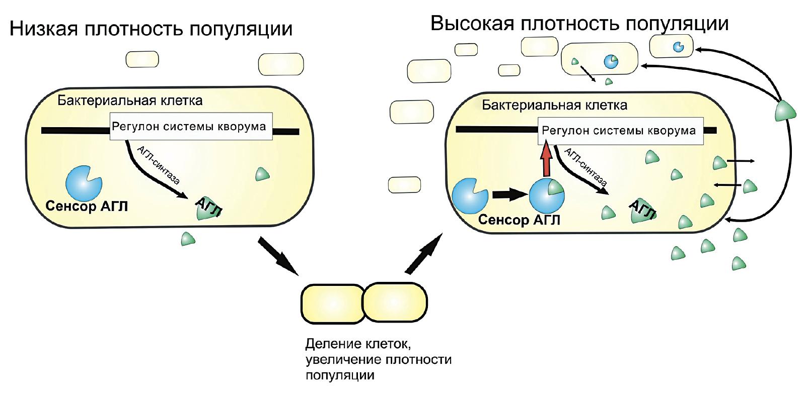 Схема регуляторной системы чувства кворума бактерий