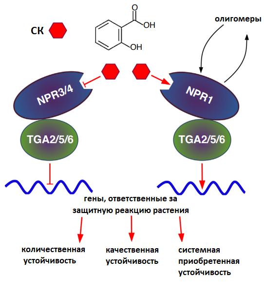 Схема сигнального пути салициловой кислоты