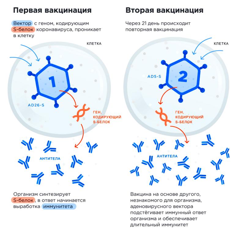 Механизм действия «Спутника V»