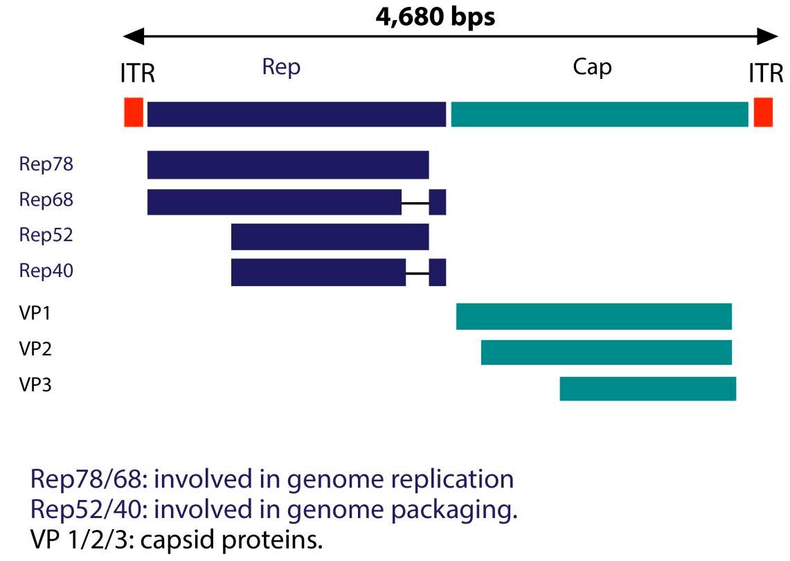 Структура генома AAV2