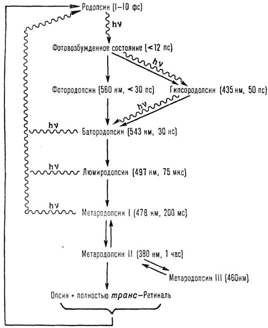 Цикл преобразования родопсина