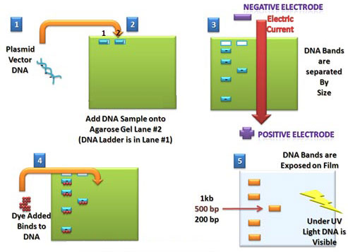 Схема проведения электрофореза