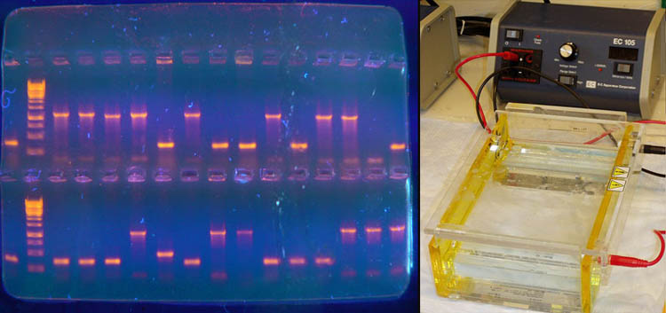 an experiment showing the effects of polymerase chain reaction and gel electrophoresis on a dna intr
