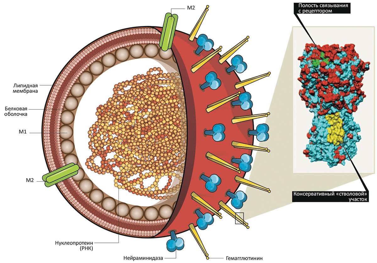 Схема строения вируса гриппа и