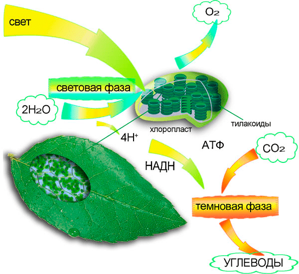 Картинки на тему фотосинтез
