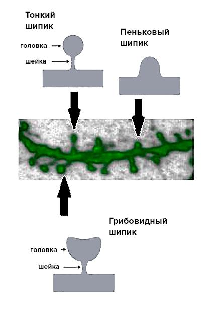 Шипики разных типов на поверхности дендрита