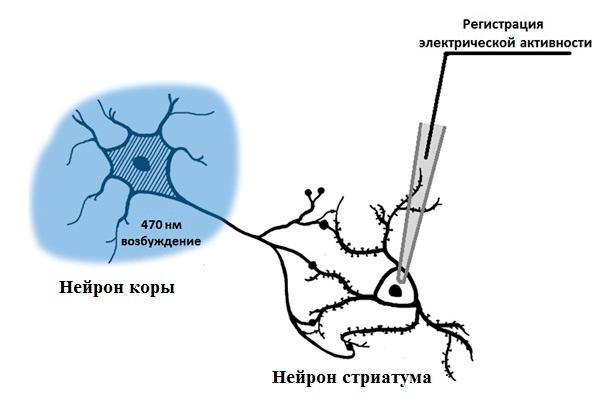 Схема эксперимента при совместном применении оптогенетики и электрофизиологической регистрации