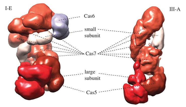 Эффекторные комплексы систем I и III типов класса 1