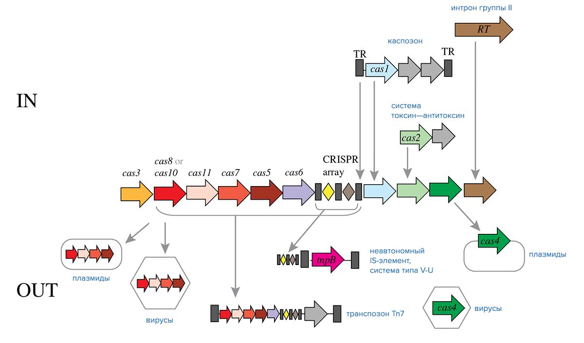 Обмен компонентами между системами CRISPR-Cas класса 1 и мобильными генетическими элементами