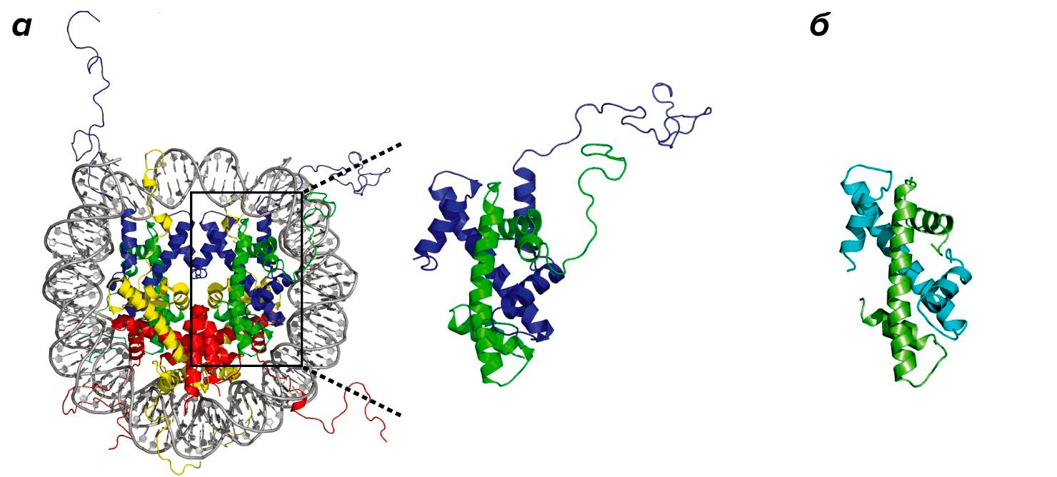 Сравнение гистона и гистонового октамера эукариот и гистона архей