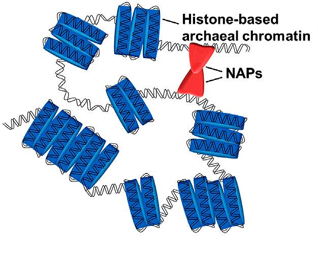 Хроматин архей