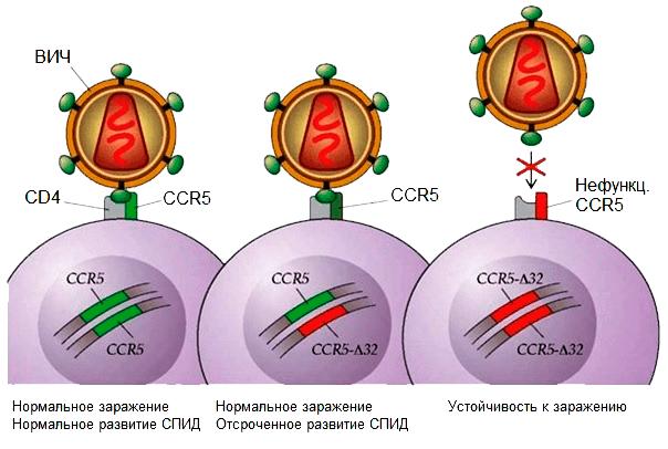 ВИЧ и мутация CCR5