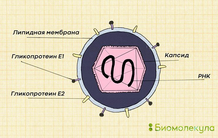 Схематичное изображение вируса краснухи