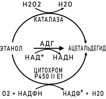 Схема метаболизма этанола