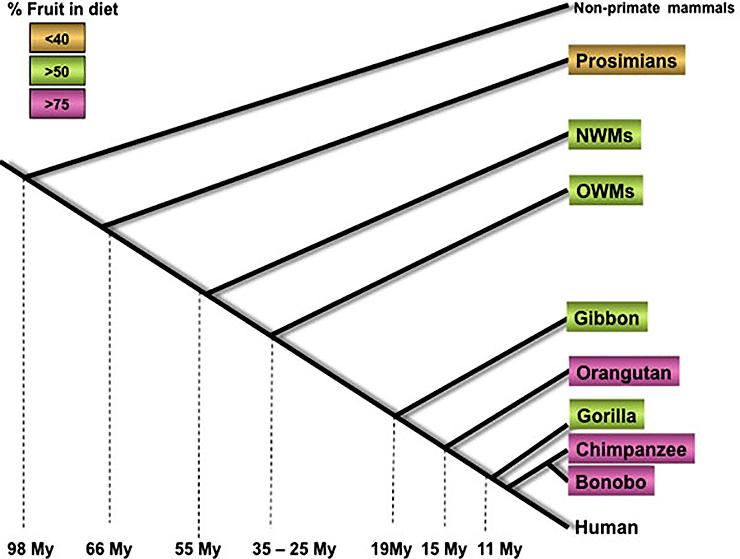 Приблизительное время расхождения приматов