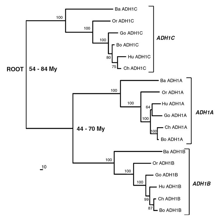 Филогенетическое дерево происхождения субъединиц АДГ1