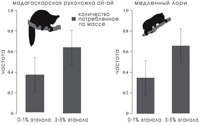 Мадагаскарские руконожки ай-ай и медленные лори предпочитают более высокие концентрации этанола