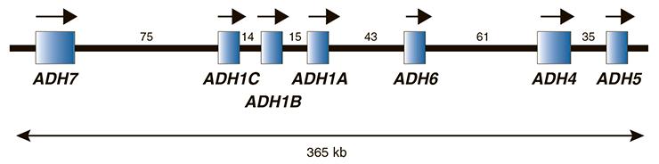 Относительный размер и расположение генов семи АДГ на длинном плече четвертой хромосомы