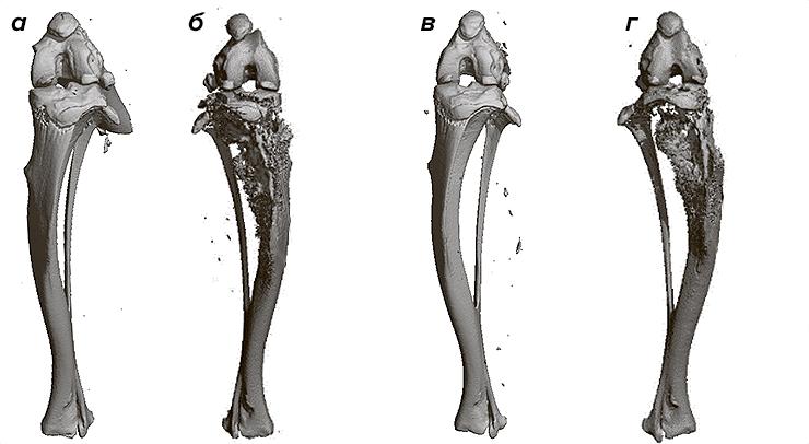 Кости использованных в исследовании мышей