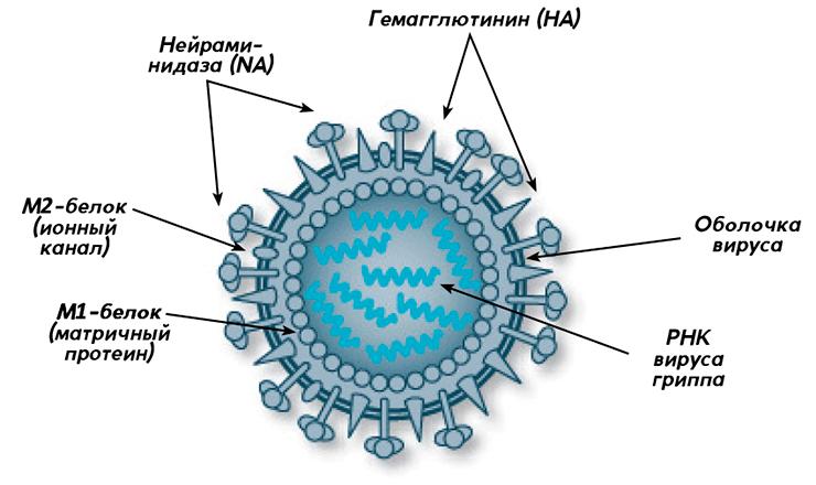 Строение вируса гриппа