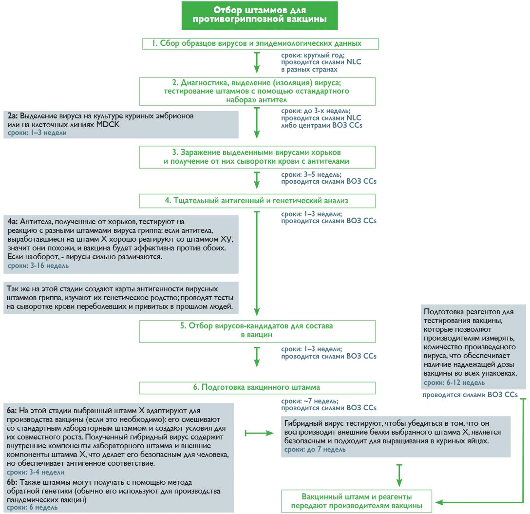 Процесс отбора штаммов для противогриппозной вакцины