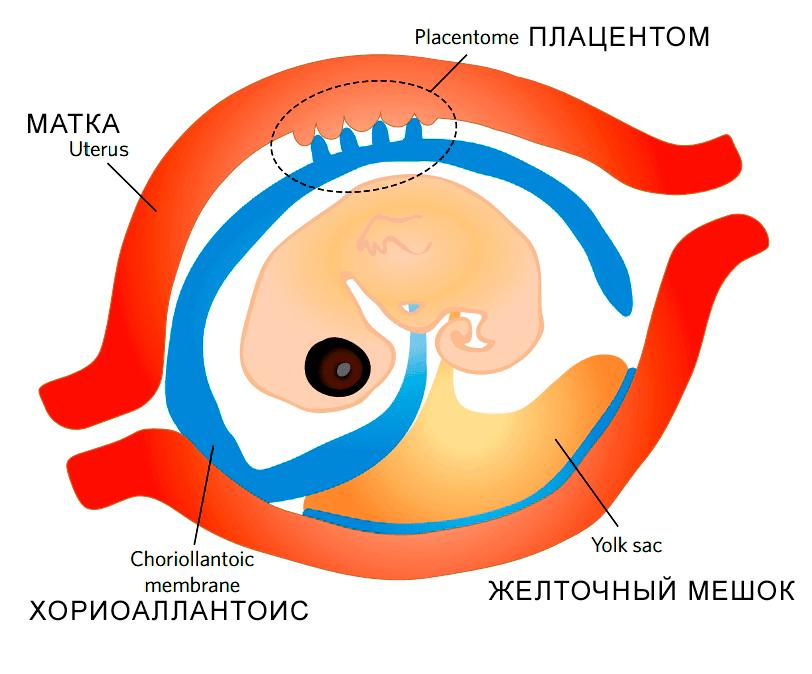 Плацентация у чешуйчатых