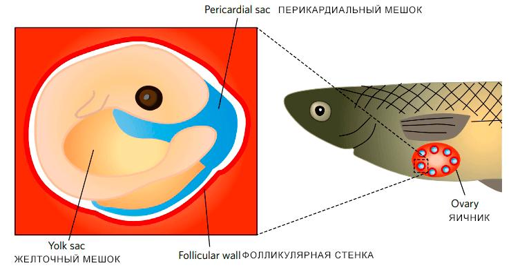 У пецилиевых рыб плацента формируется в яичниках