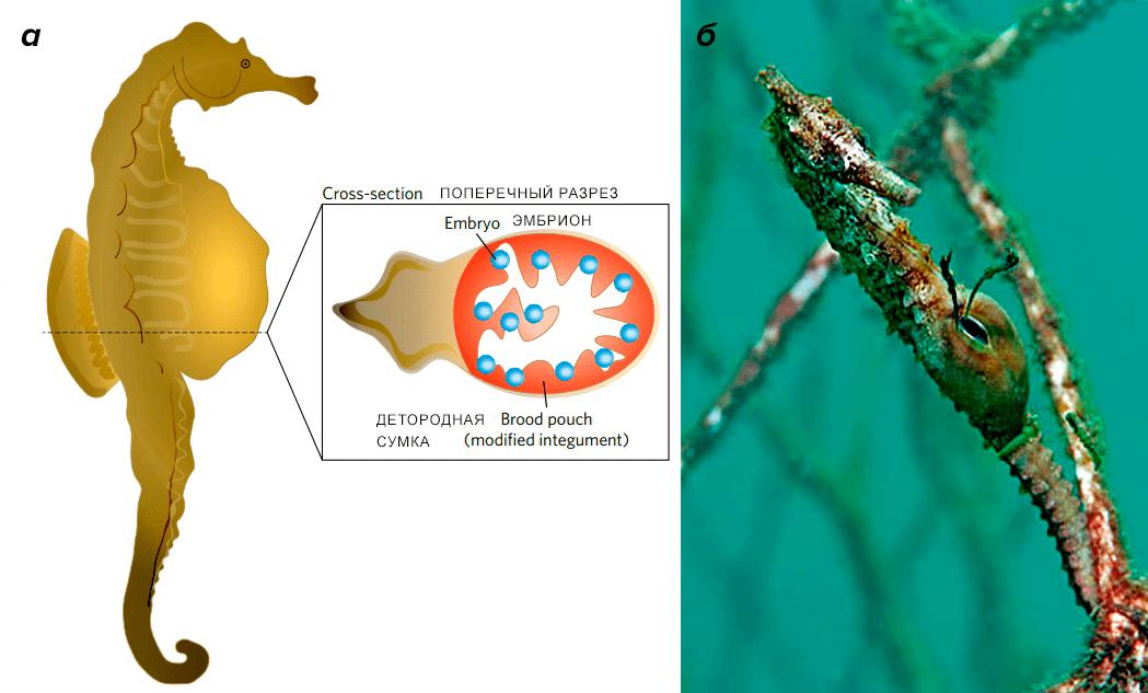 Самец морского конька вынашивает потомство в кожной сумке на брюшке